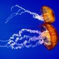 Tras los insectos, ahora alientan comer medusas