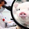 Desarrollo de órganos humanos en animales
