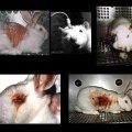 Ley protegerá a los animales de experimentación